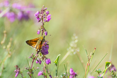 Large skipper on bell heather (gillian.pullinger) Tags: butterfly largeskipper lepidoptera insect invertebrate heather bellheather wildlife nature hampshire bramshotheath