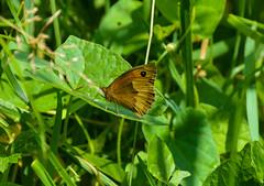Meadow Brown Butterfly (Claire Louise Beyga) Tags: butterfly butterflies bigbutterflycount ukbutterflies britishbutterflies nature outdoors 5717 explore exploring wild wildlife macro nikon dslr sigma lens