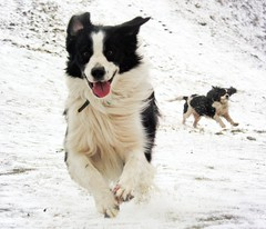 Merry Christmas! (meg price) Tags: snow happy play run bordercollie merrychristmas barney cavalierkingcharlesspaniel dilly hopeyouhaveawonderfuldaytomorrow