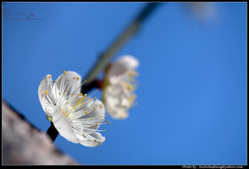 林口的桃花和梅花都開了