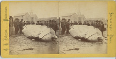 Butchering a Whale (depthandtime) Tags: old vintage found stereoscopic stereophotography 3d view antique provincetown massachusetts victorian stereo card views stereoview whale stereograph whaling foundphoto finback nickerson stereographic butchering stereocard parallelview stereoscopeview ghnickerson