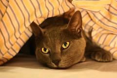 al calduccio... (tbphoto_) Tags: sleeping hot animal cat bed eyes grigio occhi gatto freddo letto caldo lenzuola coperta baffi