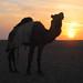 A Knackered Camel