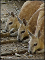 Aligned! (Brian Nordlund) Tags: animal rainforest pentax tail australia parade kangaroo ear queensland portdouglas habitat marsupial k10d