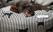 Emily Bond dachshund