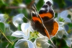 Lepidoptica (view[  ]finder) Tags: butterfly insect blossom redadmiral lepidoptera prunusavium legacy wildcherry vanessaatalanta afmicronikkor60mmf28d redfieldfractalius thetruthgallery photographyanddigitalartgroup tomfredaphotography