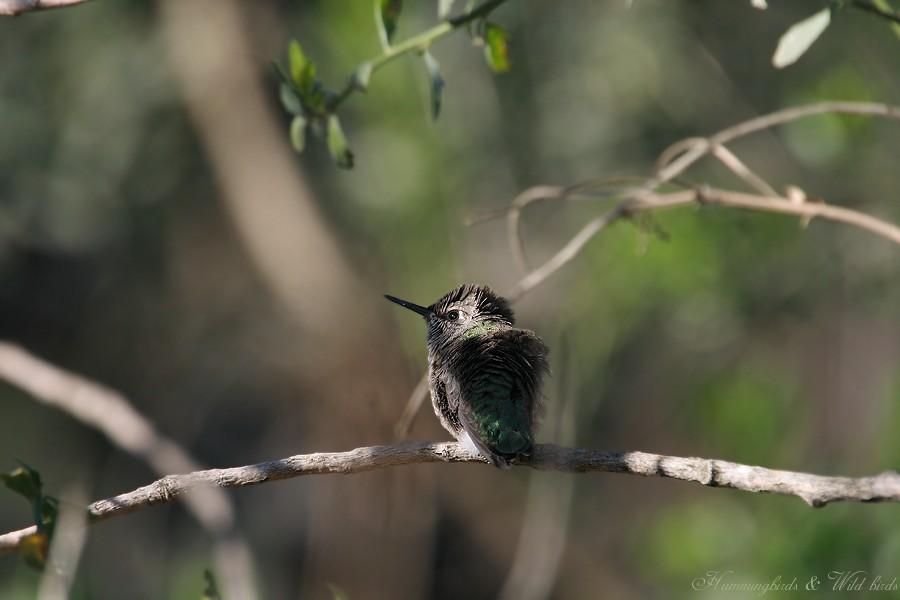 Anna's Hummingbird fledgling 091-9