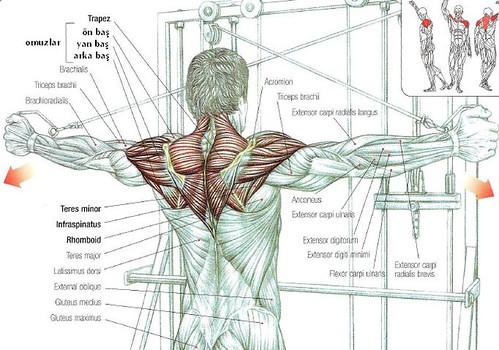 omuz kası anatomi