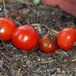 Red Tomatos one Rotten thumbnail