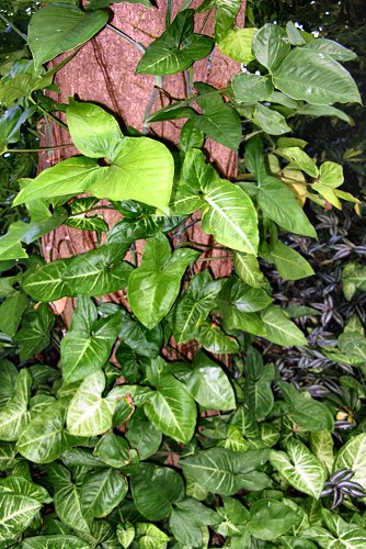 Syngonium podophyllum (rq) - 02