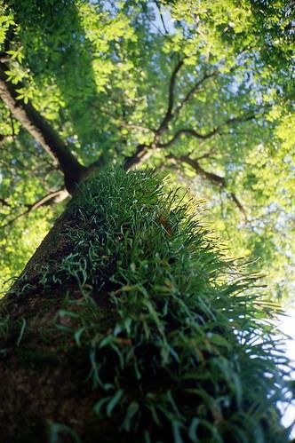 常緑樹 Contax T2