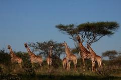 River Giraffe