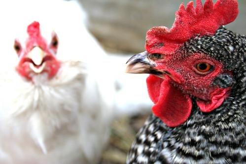 chicken stare
