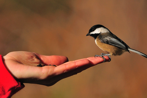 Feed the chickadee