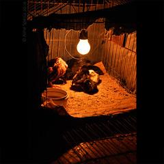 Farm (Aline Spezia) Tags: orange chickens farm environment fazenda galinhas gaiola pintinhos rstico nikond90 shadewhitebalance alinespezia