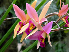 "Laelia Santa Barbara Sunset ""Showtime"""