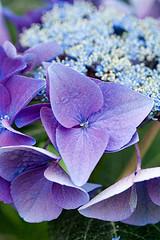 33583 (Clive Nichols) Tags: hydrangea shrub nizza hortensia mophead macrophylla hortensis ranice clivenichols flickrhydrangeas