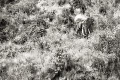 _IGP1848 (orang_asli) Tags: africa blackandwhite bw elephant nature animals tanzania mammal nationalpark noiretblanc champs nb ngorongoro fields elefant vulcano lieux afrique mammifère volcan aficionados faune naturel tanzanie savane parcnational géographie traitements mammifre elephantdafrique gžographie