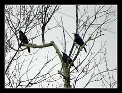 three amigos (whatsrumrumplestilskin) Tags: blackandwhite black tree green water birds clouds rainyday northcarolina birdies watcher birdwatcher capefearriver grackles wilmingtonnorthcarolina rumplestilskin mountianman alabamaboy 50thyear