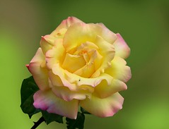 Jani rose for my friend - roses      mu hng     (Rolye) Tags: pictures flowers flower macro fleur yellow fleurs photoshop jaune wonderful garden yahoo google view image unique picture jardin blumen www images best views com incredible magnifique   pine  tige   hng  mu  attnet rolye