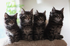 [フリー画像] [動物写真] [哺乳類] [ネコ科] [猫/ネコ] [子猫]      [フリー素材]