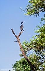 rivier en mangrove tocht / river and mangrove trip (dietmut) Tags: travel trees india tourism birds animals bomen reisen asia goa vogels journey dieren reizen azi panasoniclumix riviertocht dmcfx500 dietmut mangrovetocht riverttrip mangrovetrip yourfavorites25