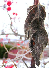 California Dreamin' (JWGPhotography) Tags: winter abstract macro closeup leaf berries naturesfinest