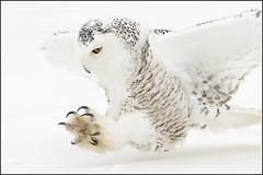 Owl (Snowy) - 0955 (Earl Reinink) Tags: flight raptor snowyowl snowyowlinflight earlreinink wwwearlreininkcom wwwipaintca