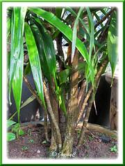 Potted Dracaena deremensis, an unidentified garden variety in our garden