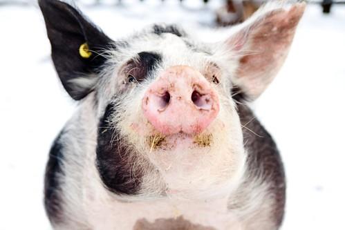Piggie wiggie