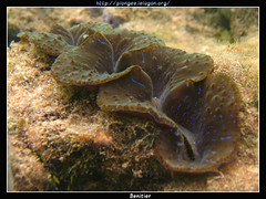 1 (CurLy98) Tags: new macro canon scuba diving snorkeling nouvelle caledonia tridacna caledonie lagon plongee corail benitier g10