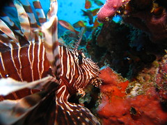 There were many Lionfish too