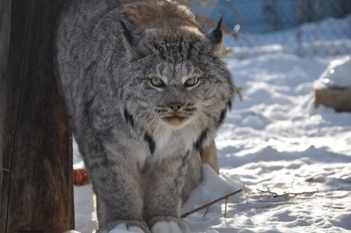 Lynx at the Yukon Wildlife Preserve