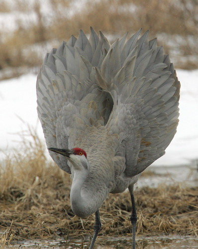 Sandhill Crane   By Mark Trabue