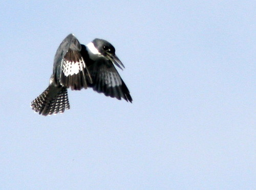 Belted Kingfisher 20100215