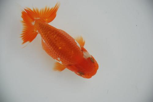 趣味の金魚