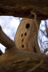 Woodpecker Holes (Face) (menickstephensorg) Tags: wood sun sunlight lake tree water dam worcestershire canonef2470mmf28lusm snowdrop canonef50mmf14usm canonef70200mmf28lisusm rushwick canoneos5dmk2