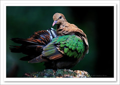 Emerald Dove-9316 (Barbara J H) Tags: bird nature zoo dove wildlife australia qld australiazoo australianwildlife beerwah australianbird australiannativebird birdsofaustralia emeralddove chalcophapsindica australianfauna wildlifeofaustralia colourfulbirds captivebird barbarajh australiandove