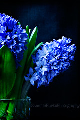 Blue (Sammie.B) Tags: blue texture canon5d hyacinth crystalvase thanksbetsy canon100mmf28l