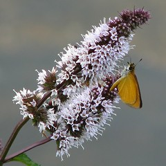 Least Skipper on wild peppermint