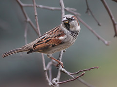 I'm a sparrow and proud of it! (Tony Tanoury) Tags: wild tree bird nature animal closeup fauna bill michigan wildlife beak feather sparrow perch housesparrow passerdomesticus ornithology birdwatching avian naturesfinest supershot malehousesparrow bej specanimal mywinners abigfave goldstaraward naturethroughthelens rubyphotographer