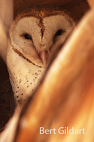 BarnOwl-1HP