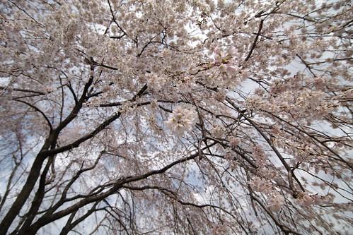 しだれ桜*貢川橋