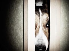 eyewitness :) (moaan) Tags: dog corgi midnight welshcorgi explored pochiko situpallnight gettyimagesjapanq1 gettyimagesjapanq2