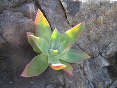 Dudleya (molly.samuel) Tags: california succulent liveforever channelislands santacruzisland dudleya