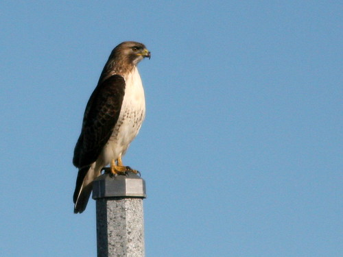 Red-tailed Hawk 20100317