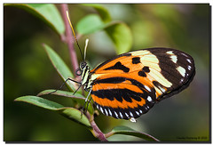 Flutterby Posing (Fraggle Red) Tags: macro nature butterfly florida upclose butterflyworld coconutcreek canonef100mmf28usmmacro eueidesisabella tradewindspark browardco adobelightroom3beta isabellaslongwing