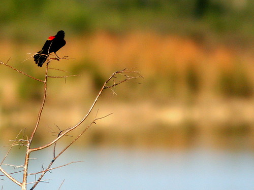 Distant Red-winged Blackbird 20100325