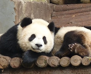 Expo Pandas (世博熊猫)