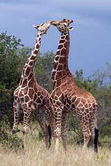 Courting Giraffes in the wild (MAC-Kenya) Tags: searchthebest kenya ngc reticulatedgiraffe canon70200mmf28lis specanimal mywinners platinumphoto solioranch theunforgettablepictures canoneos5dmarkii dragondaggerphoto dragondaggeraward mothernaturesgreenearth natureskingdom mackenya